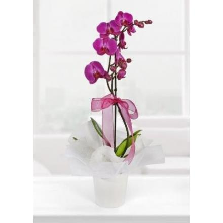 Purple orcıd  (TR)