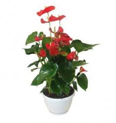 Antroıum plant (TR)