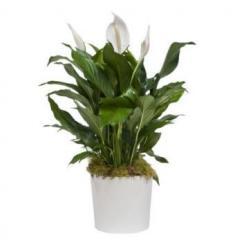 Spatifilium plant (TR)