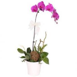 purple orchid (CHN)
