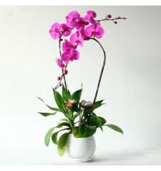 Double purple orchid (CHN)