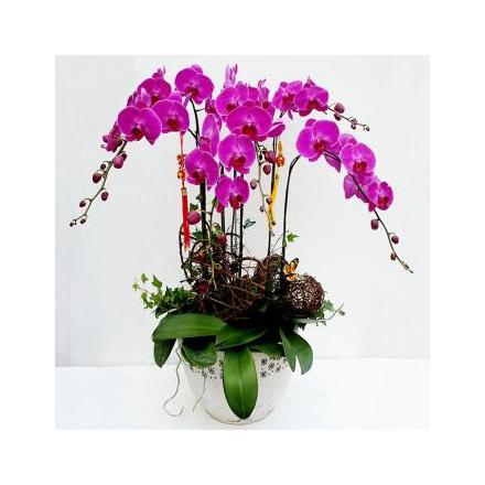 6 branches purple orchid (CHN)