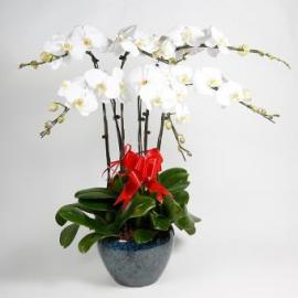 6 branches white orchid (CHN)