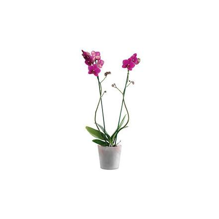 Pink Orchid in an elegant container