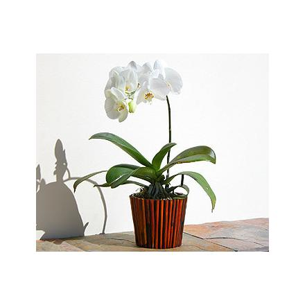 Orchid Phalaenopsis in pot - SUCCESS!