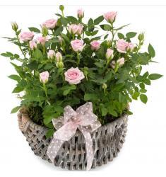 Sweet Roses (G)