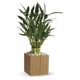 Good Luck Bamboo  (USA-Canada)