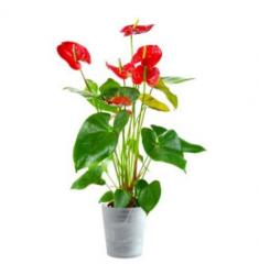 Anthurium red in an elegant container (CH)