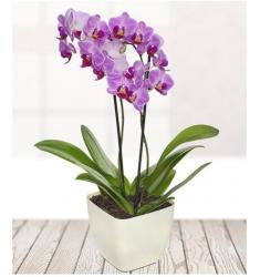 Potted Orchid (UK)