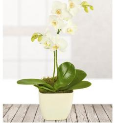 White Potted Orchid (UK)