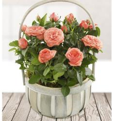 Rose Planted Basket (UK)
