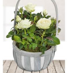 Τριανταφυλλίτσα Λευκή σε καλάθι (UK)