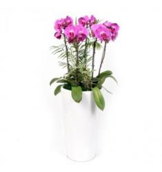 Pink phalaenopsis orchid (KR)