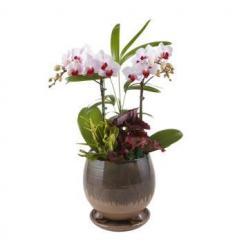 Mini Phalaenopsis orchid (KR)