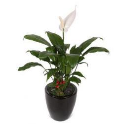 Spathiphyllum plant (KR)