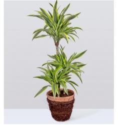 Large Dragon Tree Plant  (UK)