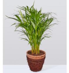 Areca Palm  (UK)