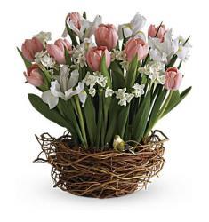 Tulip Song (U.S.A)