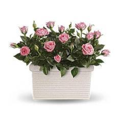 Rose Repose (U.S.A)