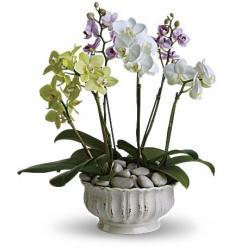 Regal Orchids (Αμερική-Καναδάς)