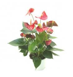 Anthurium Plant (IT)