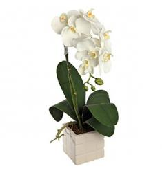 White Orchid Plant (IT)