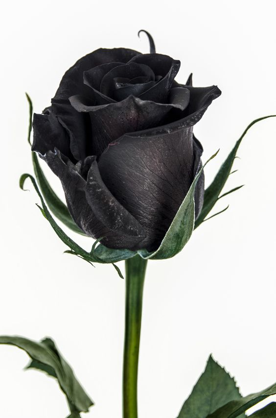 cosmoflora_black_rose