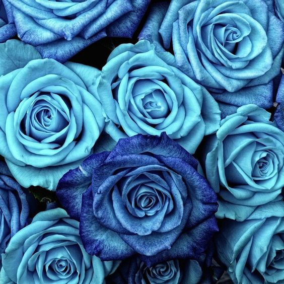 cosmoflora_blue_rose