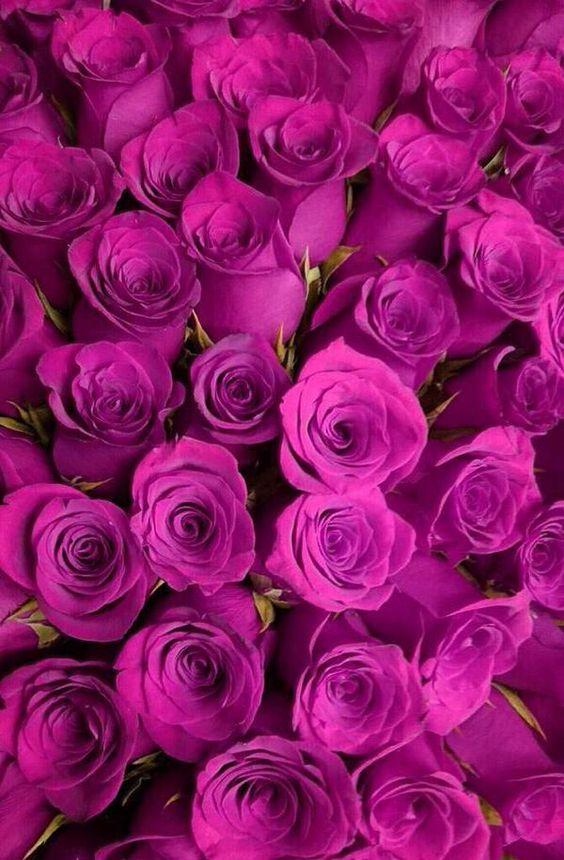 cosmoflora_fuschia_roses