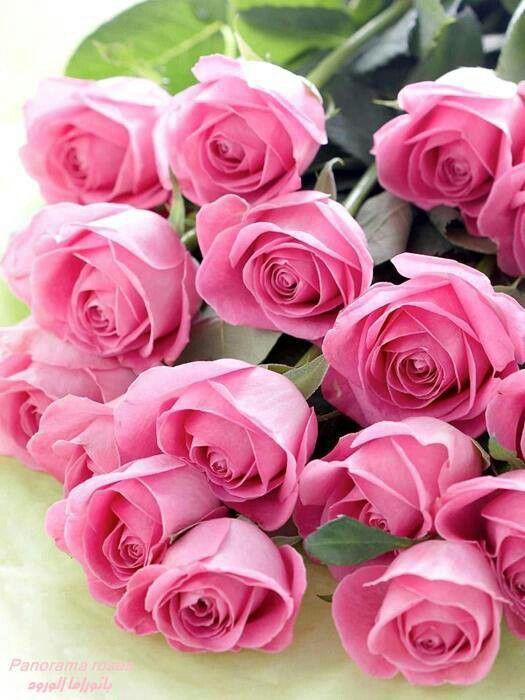 cosmoflora_pink_roses