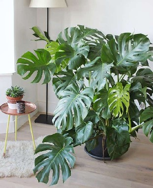 monstera_2_cosmoflora