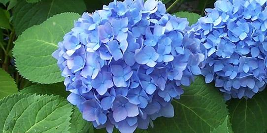 Hydrangea, simple care tips
